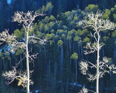 Trees_Carol_Morgan_Eagle-3